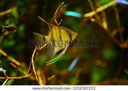 Freshwater Aquarium Fish Angelfish Amazon River Stock Photo Edit