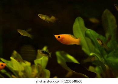 Freshwater aquarium fish, The black molly (Poecilia sphenops)