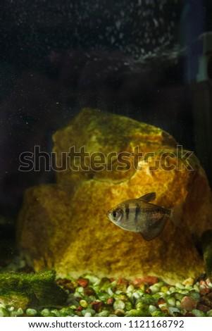 Freshwater Aquarium Fish Black Tetra Gymnocorymbus Stock Photo Edit