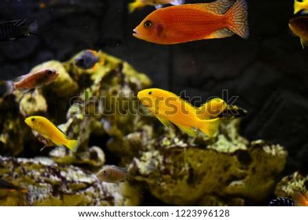 Freshwater Aquarium Fish Cichlid Stock Photo Edit Now 1223996128