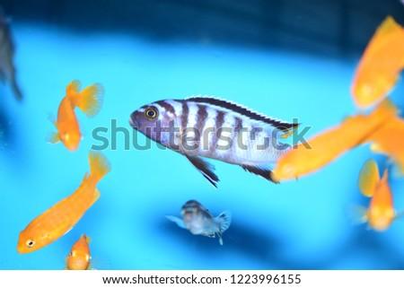 Freshwater Aquarium Fish Cichlid Stock Photo Edit Now 1223996155