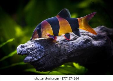 Freshwater aquarium fish, The clown loach from Sumatra and Borneo (chromobotia macracanthus)