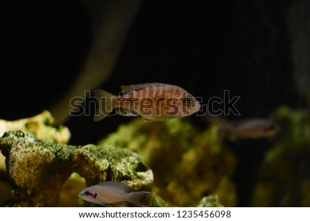 Freshwater Aquarium Fish Endemic Cichlid Fish Stock Photo Edit Now