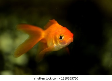 Royalty Free Fantail Goldfish Images Stock Photos Vectors