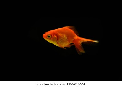 Freshwater aquarium fish, goldfish from Asia in aquarium, carassius auratus