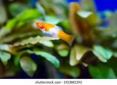 Freshwater aquarium fish, The green swordtail, (Xiphophorus hellerii), red and white KOI mutation (Kohaku)