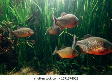 Freshwater aquarium fish, The red bellied piranha, the red piranha