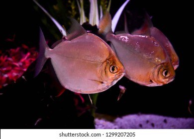 Freshwater aquarium fish, Theredhook from South America, Myloplus rubripinnis or piranha
