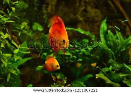 Freshwater Aquarium Fish Symphysodon Discus Amazon Stock Photo Edit