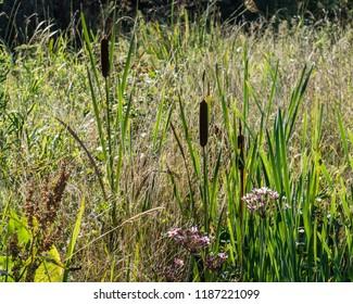 Freshwater bank vegetation with flowering rush (utomus umbellatus), bullrush (Typha latifolia), great water dock (Rumex hydrolapathum) and reeds. Diemer Woods, Diemen, the Netherlands