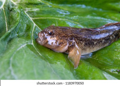 Freshwater bullhead fish or round goby fish known as Neogobius melanostomus and Neogobius fluviatilis pallasi just taken from the water. Close up view of raw bullhead fish called goby fish