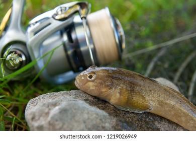 Freshwater bullhead fish or round goby fish known as Neogobius melanostomus and Neogobius fluviatilis pallasi just taken from water. Close up view of raw bullhead fish called goby fish on grey stone