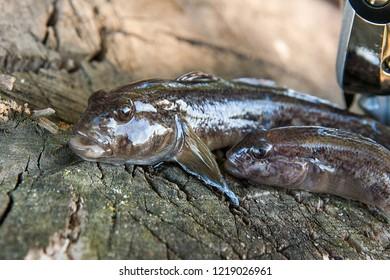 Freshwater bullhead fish or round goby fish known as Neogobius melanostomus and Neogobius fluviatilis pallasi just taken from the water. Two raw bullhead fish called goby fish and fishing rod