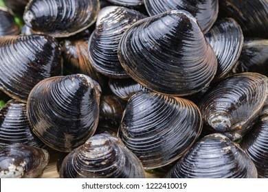 freshwater clam, Shijimi