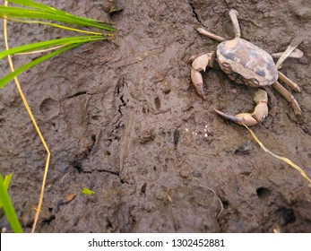 Freshwater Crab Images, Stock Photos & Vectors | Shutterstock