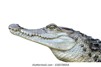Freshwater crocodile ( Crocodylus mindorensis ) isolated on a white background. Lizard living in Philippines.