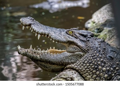 Freshwater crocodile (Siamese crocodile) portrait showing eye, ear and teeth with stream or river background. Head of freshwater crocodile (Crocodylus johnsoni) with open mouth  resting in a rock.