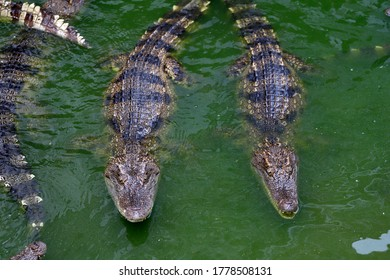 Freshwater crocodiles on the farm pond