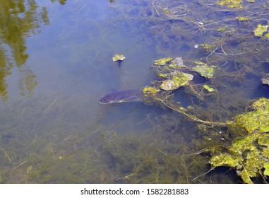 Freshwater eel emerging from  seaweed