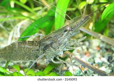 Freshwater exotic shrimp closeup shot in aquarium