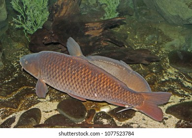 the freshwater fish