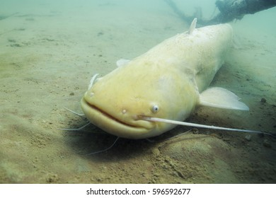 Freshwater fish Albino catfish (Silurus glanis) in the beautiful clean river. Underwater shot of the catfish. Wild life animal. Siluro in the nature habitat with nice background. Golden fish.