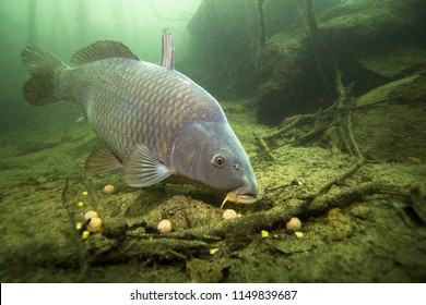 Freshwater fish carp (Cyprinus carpio) feeding with boilie in the beautiful clean pound. Underwater shot in the lake. Wild life animal. Carp in the nature habitat with nice background.