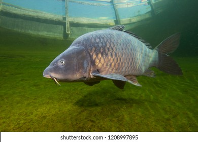 Freshwater fish carp (Cyprinus carpio) swimming in the beautiful clean pound. Underwater shot in the lake. Wild life animal. Carp in the nature habitat with nice background. Underwater photography.