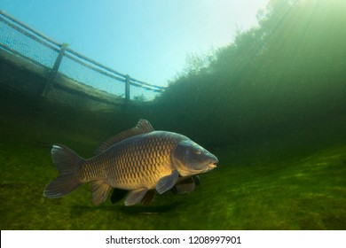 Freshwater fish carp (Cyprinus carpio) swimming in the beautiful clean pound. Underwater shot in the lake. Wild life animal. Carp in the nature habitat with nice background. Underwater photography.