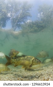 Freshwater fish carp (Cyprinus carpio) in the beautiful clean pound.Group of carps swimming in the clear water. Underwater photography in the lake. Wild life animal. Carp in the nature habitat.