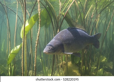 Freshwater fish carp (Cyprinus carpio) in the beautiful clean pound. Underwater shot in the lake. Wild life animal. Carp in the nature habitat with nice background with water lily.