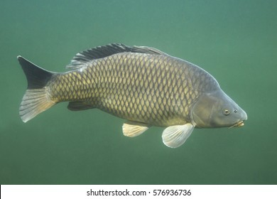 Freshwater fish carp (cyprinus carpio) in the beautiful clean pound. Underwater shot in the lake. Wild life animal. Carp in the nature habitat with green background.