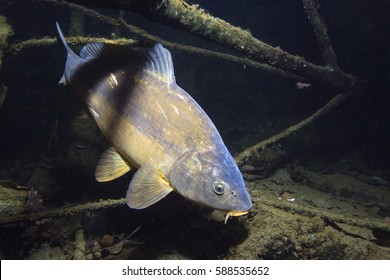 Freshwater fish carp (cyprinus carpio) in the beautiful clean pound. Underwater shot in the lake. Wild life animal. Mirror carp in the nature habitat with nice background.