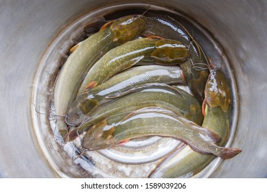 Freshwater fish channel Catfish fillet for meat cooking food in Asian / Fresh raw catfish sheatfish river fish in market
