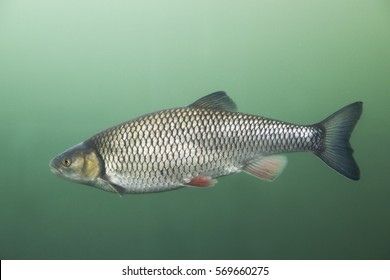Freshwater fish Chub (Leuciscus cephalus) in the beautiful clean river. Underwater shot with green bacground. Wild life animal.