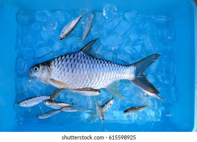 The Freshwater fish, Common name Silver carp keep in Ice box temperature control with ice background