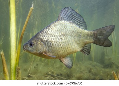 Freshwater fish crucian carp (Carassius carassius) in the beautiful clean pound. Underwater shot in the lake. Wild life animal. Crucian carp in the nature habitat with nice background.