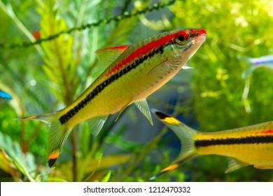 Freshwater fish Denison's Barb or Puntius denisonii in planted tropical aquarium