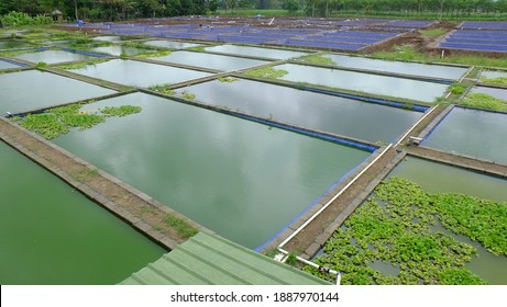 freshwater fish farming pond in the village. Fresh fisheries agro industries
