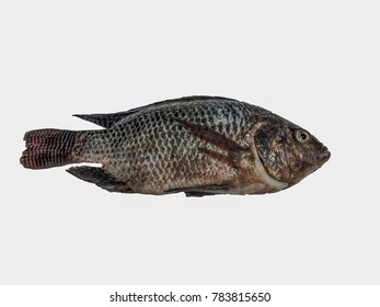 freshwater fish ,Fresh Tilapia fish isolated on white background