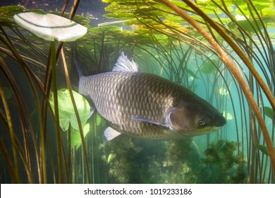 Freshwater fish grass carp (Ctenopharyngodon idella) in the beautiful clean pound. Underwater shoot. Wild life animal carp. Grasskarpfen in the nature habitat with nice backgroundand water lily.