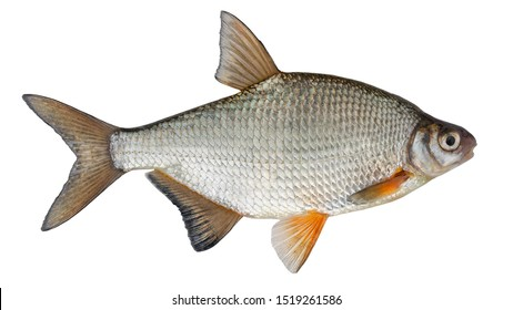 Freshwater fish isolated on white background closeup. The the white bream or the silver bream  is a  fish in the carp family Cyprinidae, type species: Blicca bjoerkna.
