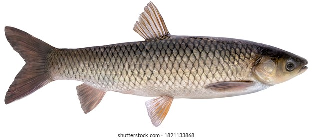 Freshwater fish isolated on white background closeup. The  grass carp  is a fish in the carp family Cyprinidae, type species: Ctenopharyngodon idella