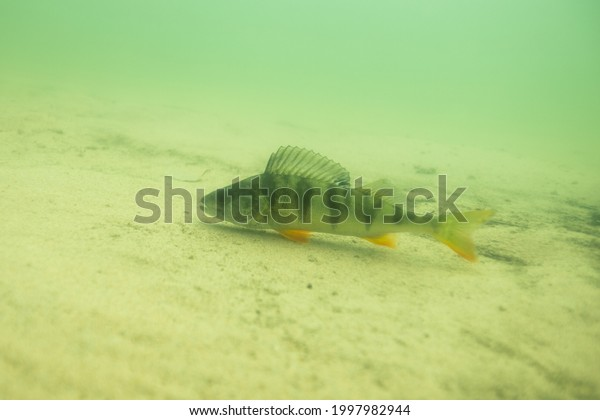 Freshwater fish perch in the beautiful clean lake in Finland. Underwater shot in the lake. Wild life animal. Perch in the nature habitat.