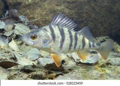 Freshwater fish perch (perca fluviatilis) in the beautiful clean pound. Underwater shot in the lake. Wild life animal. Perch in the nature habitat with nice background. Live in the lake.