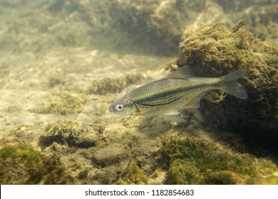 Freshwater fish Riffle minnow (Alburnoides bipunctatus) underwater photography. Minnow in clean water and nature habitat. Natural light. Lake and river habitat. Wild animal. Underwater photo of fish.