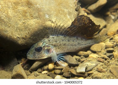 Freshwater fish Ruffe (Gymnocephalus cernuus) in the beautiful clean pound. Underwater photography in the river habitat. Wild life animal. Ruffe or Kaulbarsch in the nature habitat nice background.