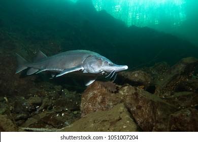 Freshwater fish Siberian Sturgeon, Acipenser baeri in the beautiful clean river. Underwater photography of swimming sturgeon in the nature. Wild life animal. River habitat , nice background.