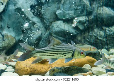 Freshwater fish is the fish tank