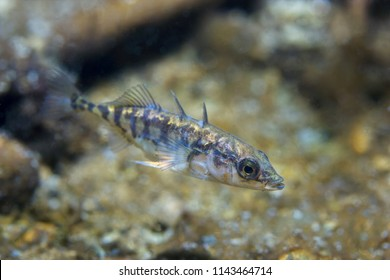 Freshwater fish Three spined stickleback (Gasterosteus aculeatus) in the beautiful clean pound. Underwater shot in the lake. Wild life animal. Nature habitat with nice background. River habitat.